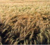 Environment News - Wild Barley
