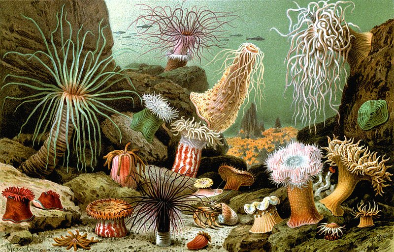 Various examples of sea anemones - Wikimedia Commons