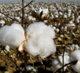 Cotton - Environment News - Israel