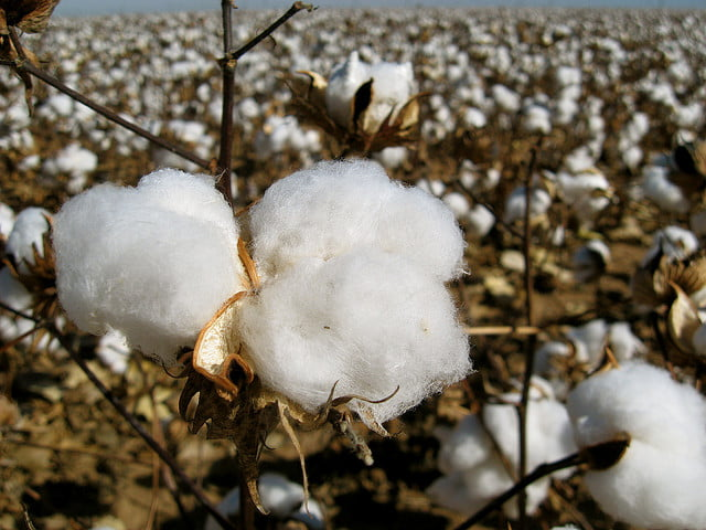 Cotton. Photo by Mike Beauregard/Flickr