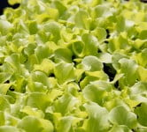 Lettuce - Environment News - Israel