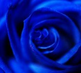 Blue Rose - Environment News - Israel