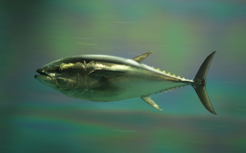 Bluefin tuna - Environment News - Israel