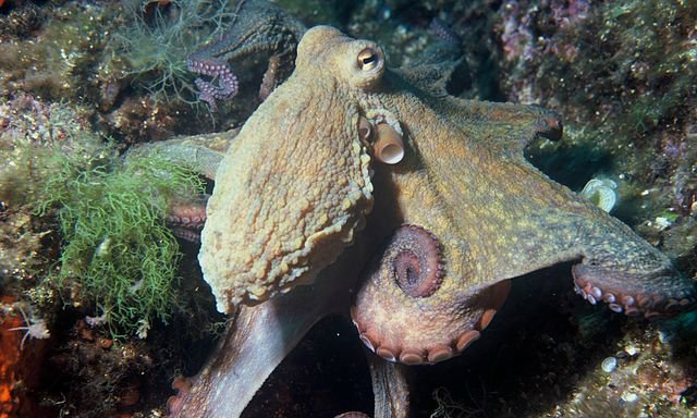 Environment News: Octopus Camouflage Hints To Higher Intellect Than Thought