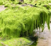 seaweed - environment news - cleantech