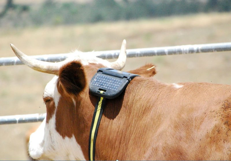 Cattlesense Develops Smart GPS Collars To Keep Track Of Cow Herds