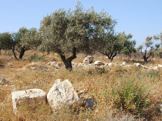 Environment News: Olive Trees May Be The Cure For Desertification
