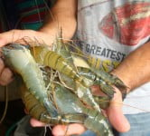 Environment News: Researcher Creates Transsexual Prawns To Get Bigger Crustaceans