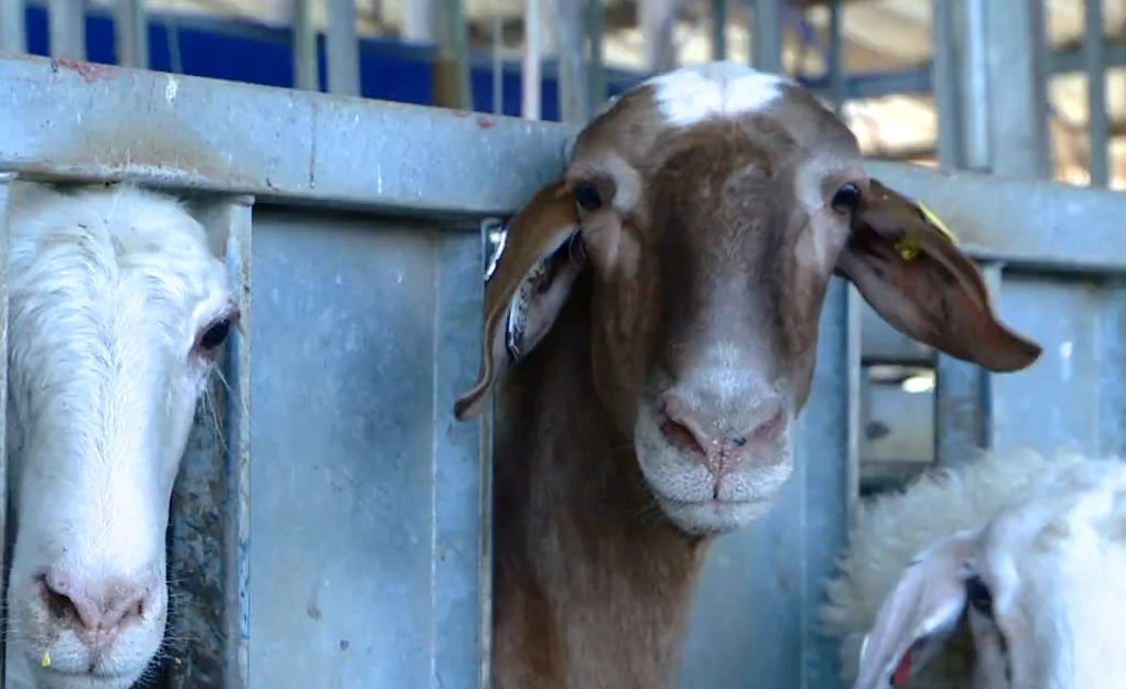 Israel Takes Its Milking Expertise To Canadian Goats