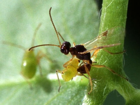 The Parasitic Wasp