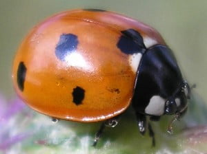 ladybug 300x224 Research Shows How Tiny Insect Pirouettes Mid Air To Land On Its Feet
