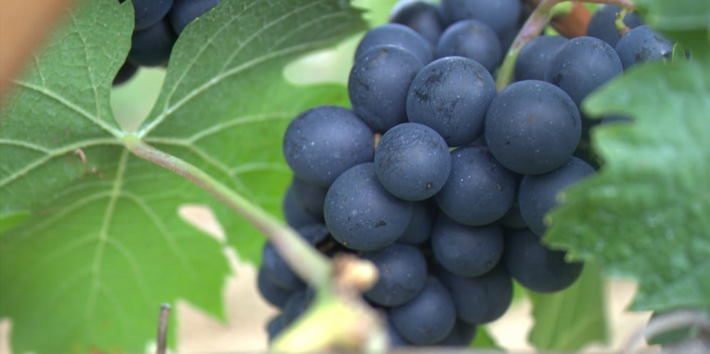 Environment News: Researchers Grow Grapes In Winter