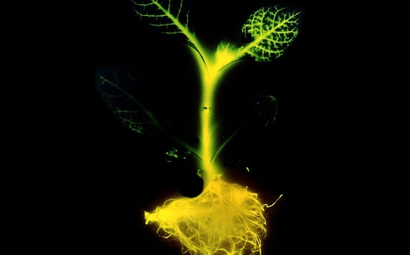Environment News: Will Glowing Plants Be The Streetlights Of The Future?