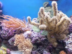 corals1 e1370793688536 200 Year Old Mystery Solved: Why Do Corals Pulsate?