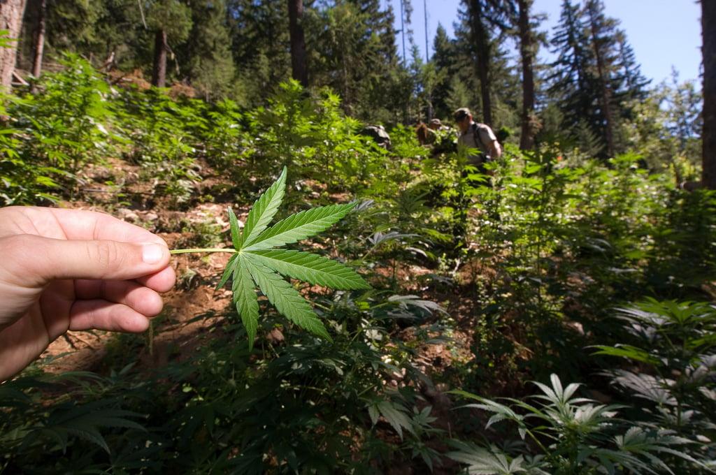 Health News - Research: Tiny Quantities Of Marijuana Protect Against Brain Damage