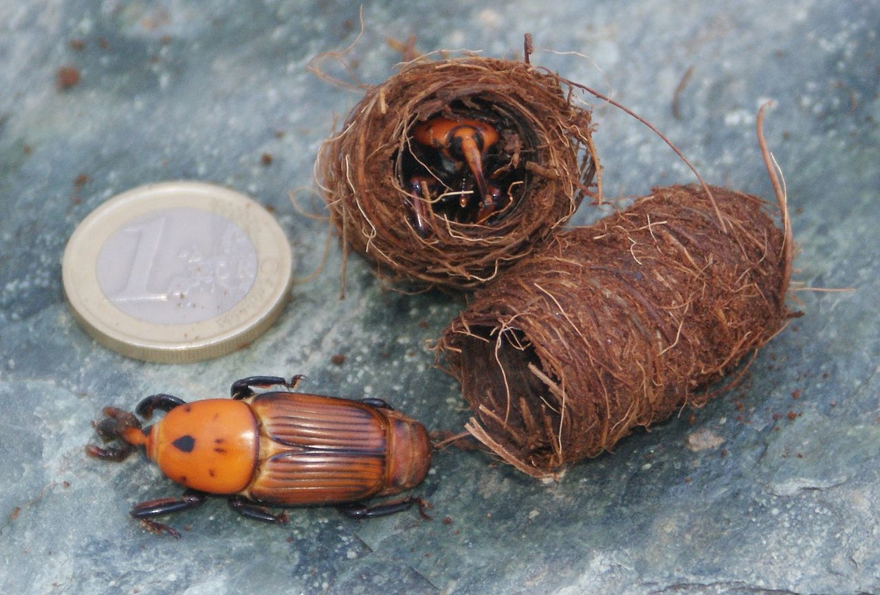 Environment News: Research: Israeli Beetle Doesn't Need Males To Reproduces