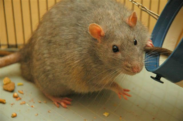 Rats have a lifespan of just four years