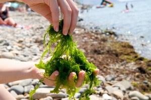 Seaweed. Photo via Bigstock