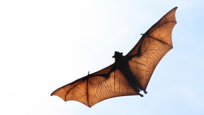 Research Sheds Light On Bat's Ability To See In The Dark