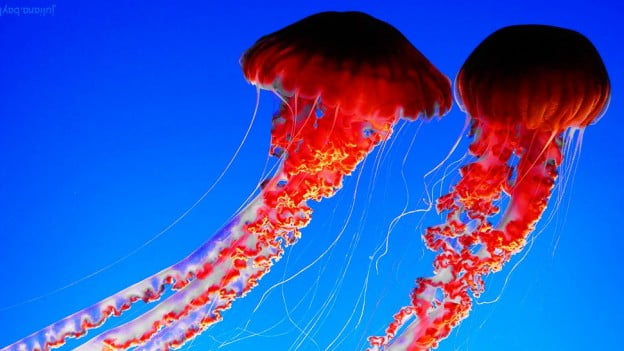 beautiful jellyfish swimming in the ocean