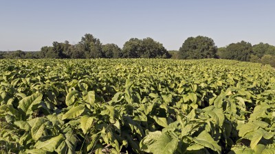 tobacco plant field