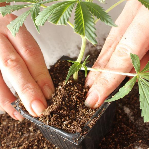 Marijuana by Seach