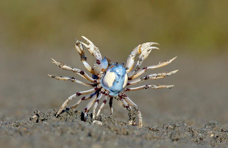 Soldier Crabs fighting