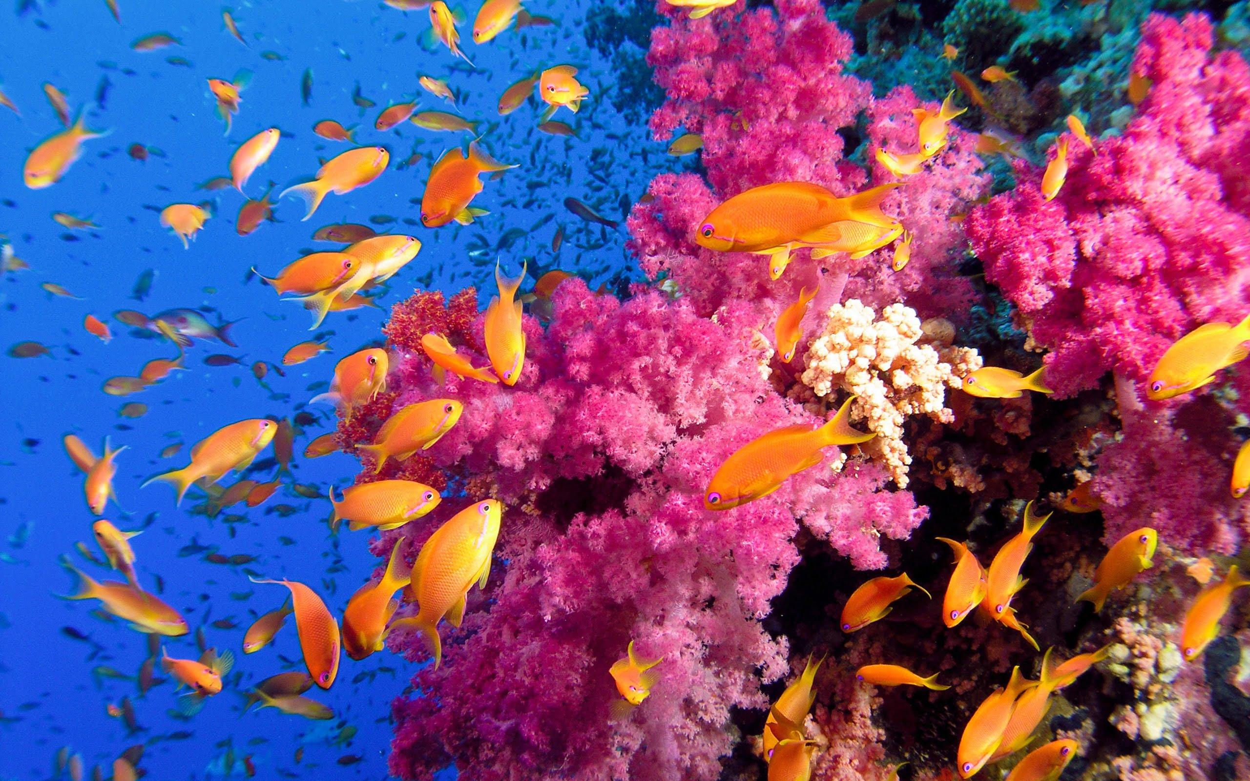 pink coral fish