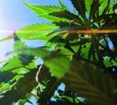 marijuanasunshine