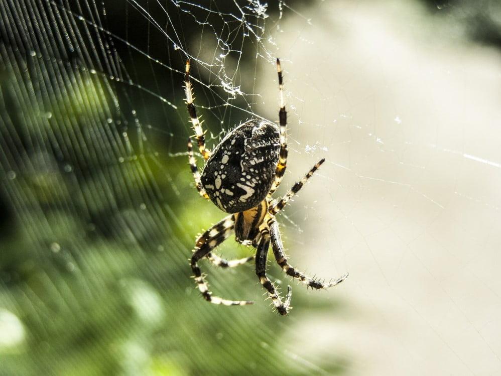 Spider via via Joaquin Portela/WikiCommons