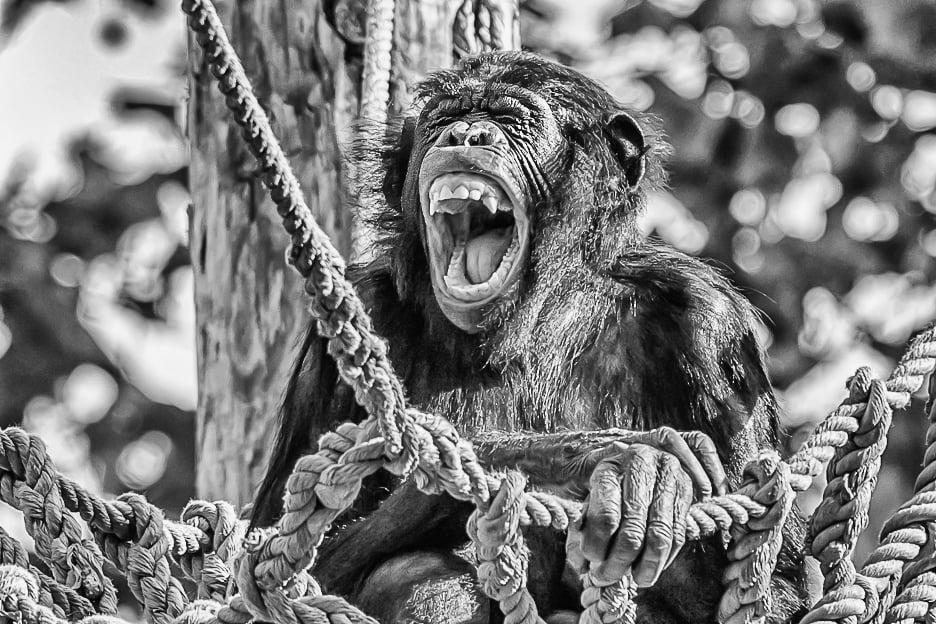 bonobo in captivity