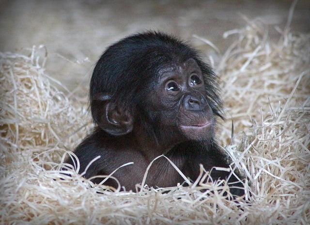 bonobobaby