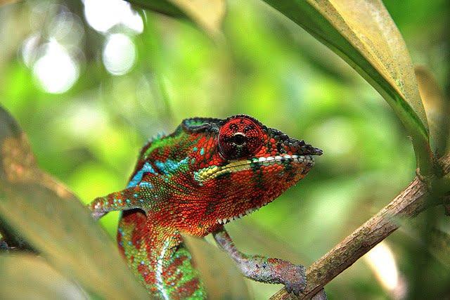 redchameleon