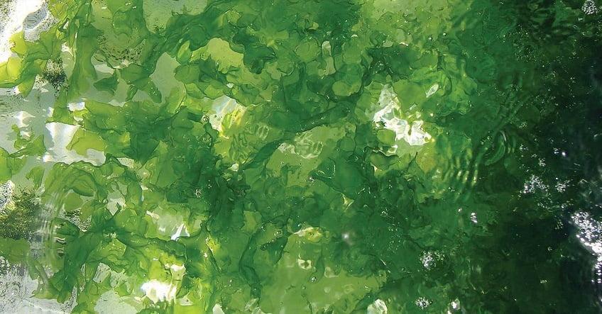 Seakura sea lettuce