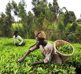 kenya agriculture tea crops green africa woman