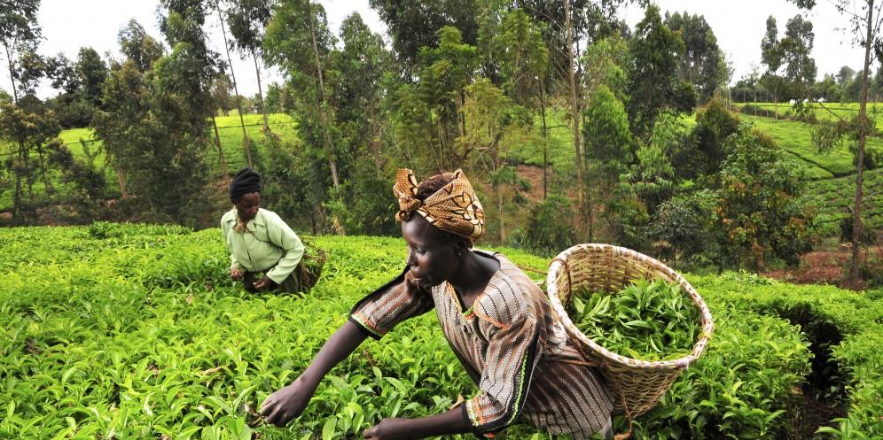 kenya agriculture tea crops green africa woman