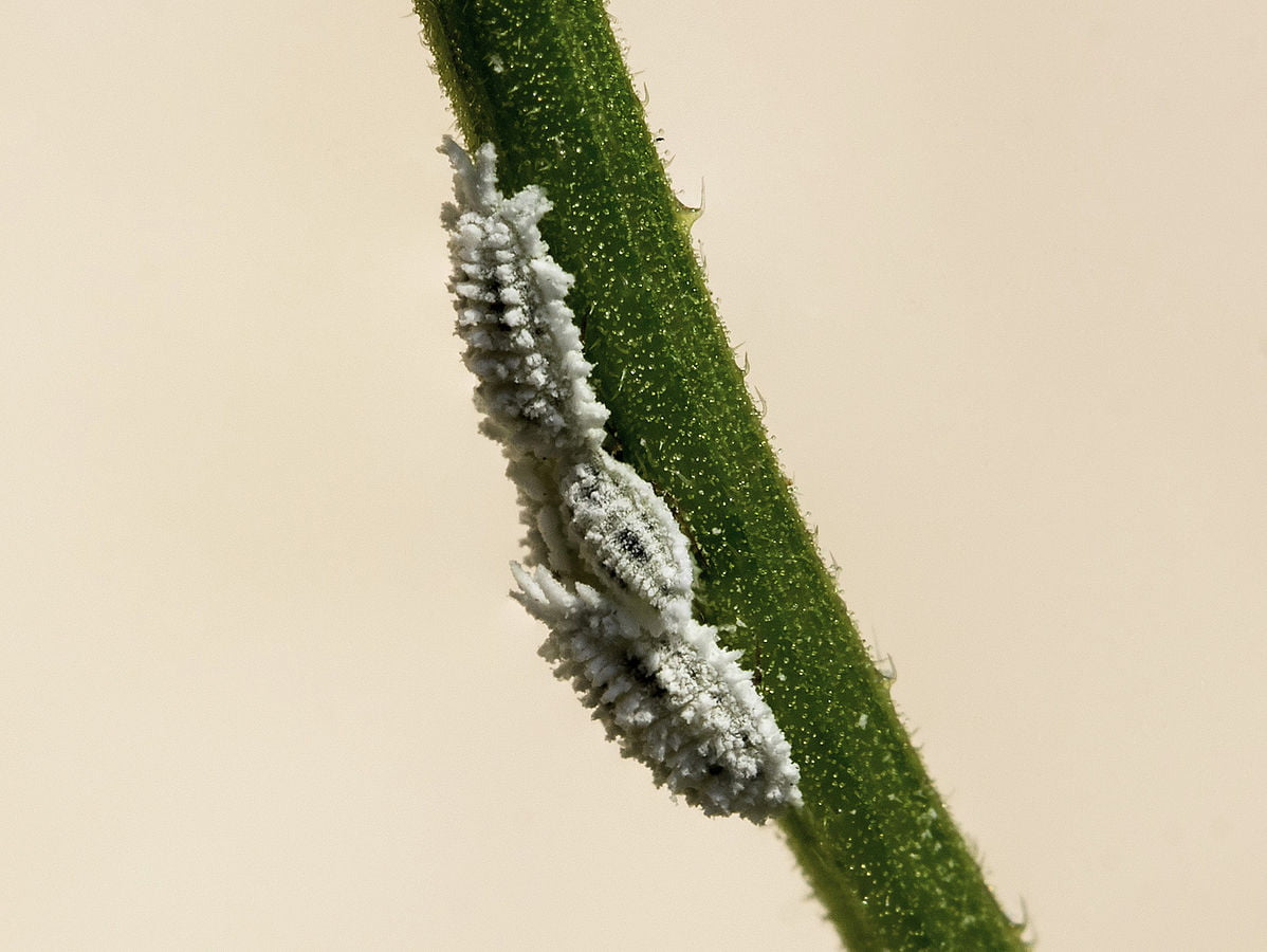 Mealybugs on a flower stem