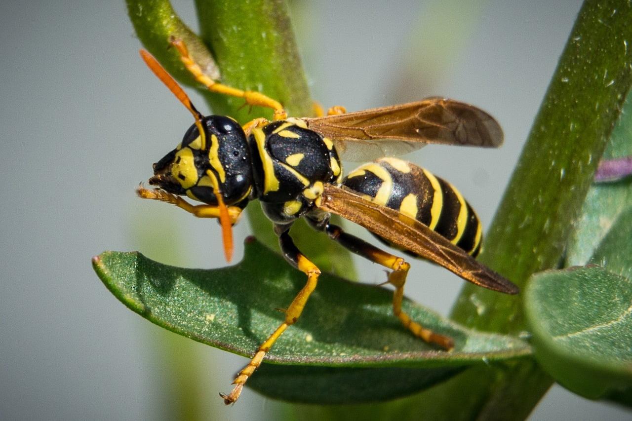 Wasp via Crisco 1942/WikiCommons