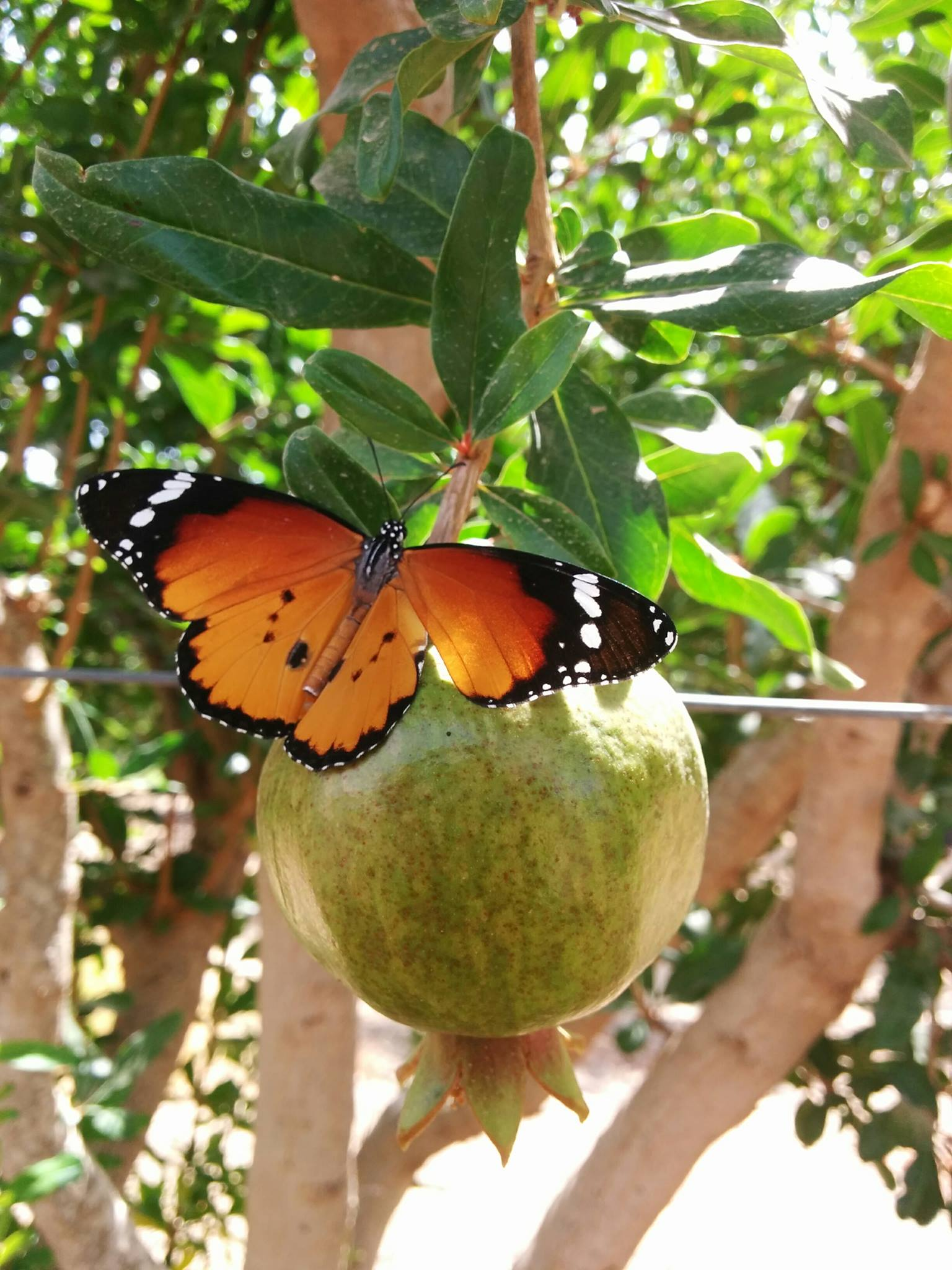 pomegranate butterfly orchard fieldin