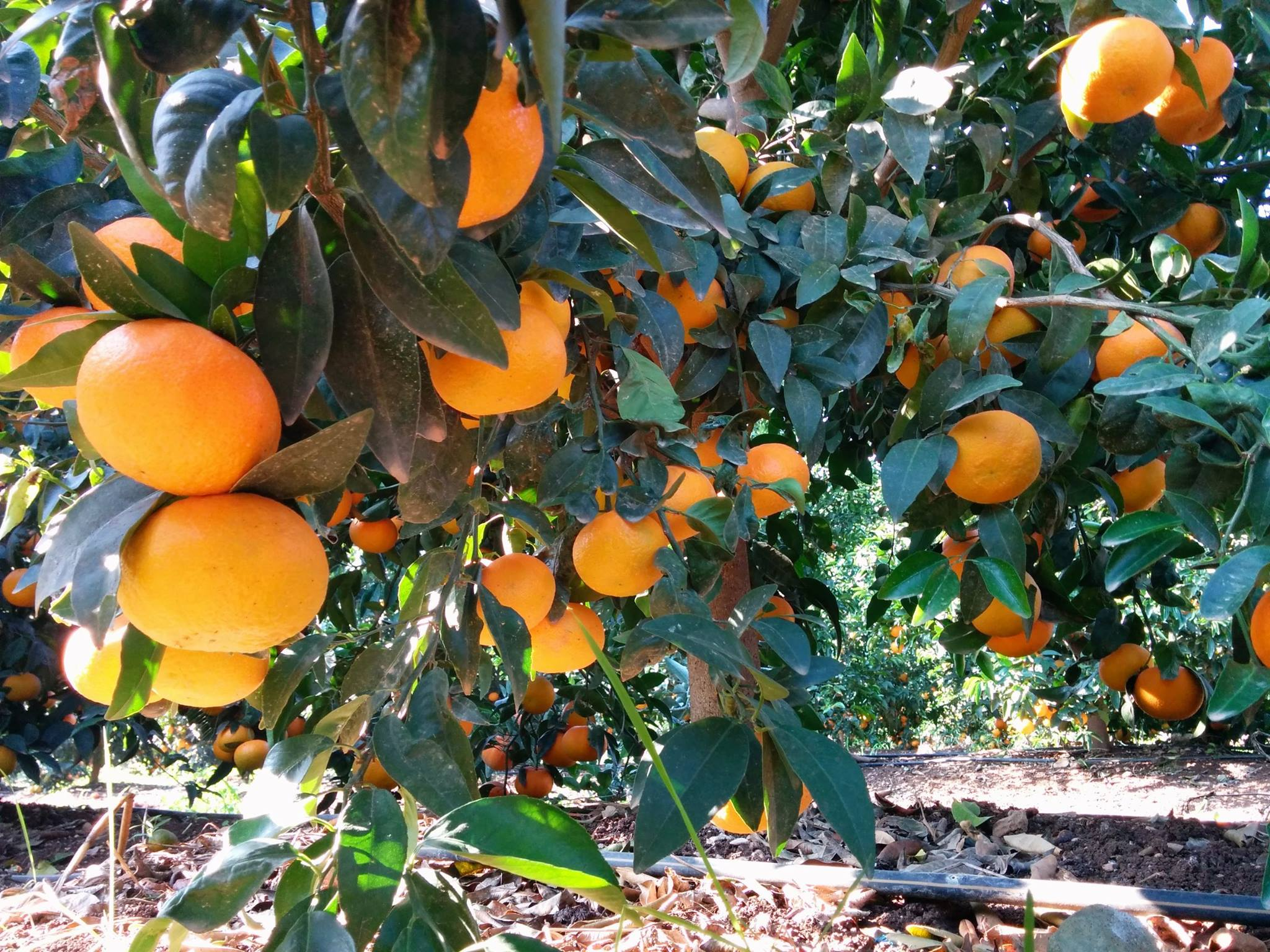 orange grove orchard fieldin