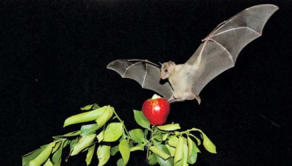bat with apple