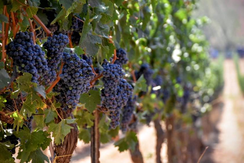 Vineyard; Grapes. Courtesy