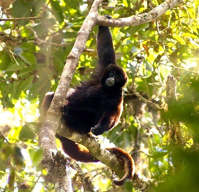Yellow-tailed woolly monkey via Platyrrhinus/WikiCommons
