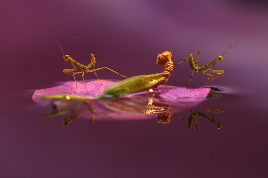 Young mantises on a purple leaf of bougainvillea, by Daniel Danilov