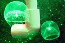 Jellyfish. Courtesy of Haifa University