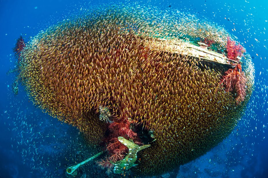 Tiny Red Sea fish swarming a shipwreck - by Noam Kortler