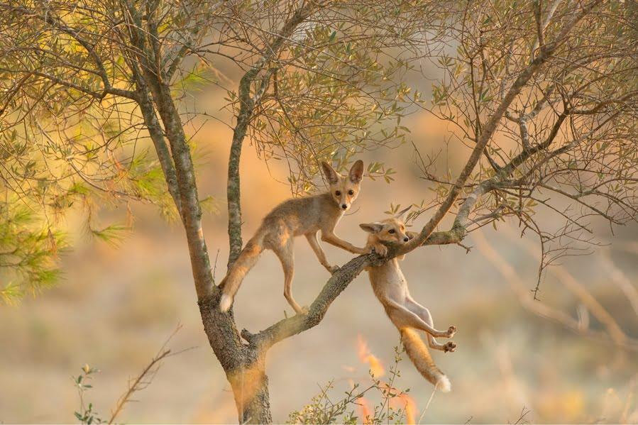 Red fox cubs, by Alex Geifman