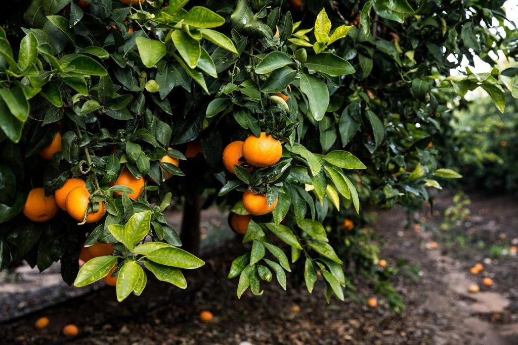 Orri mandarin. Courtesy