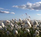 cotton field by Mike Beauregard
