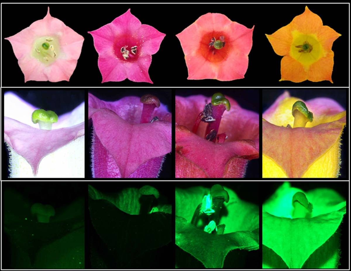 Tobacco flowers in nature are pale pink (far left), but can take on new colors (three images on the right) when genetically engineered to produce betalains - courtesy of the Weizmann Institute